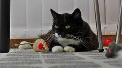 Tussi with some of her toys... (vanstaffs) Tags: t tuxedocat tux tutu tusse tussi tuzz tuxedogirl myprettytuxedogirl tuzz