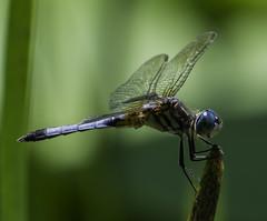 DragonFly_SAF7679 (sara97) Tags: nature insect outdoors dragonfly missouri saintlouis predator citypark towergrovepark mosquitohawk urbanpark photobysaraannefinke copyright2016saraannefinke
