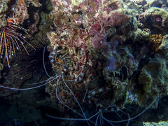 Moorea - Snorkeling - Blue Banded Coral Shrimp and Spotfin Lionfish 2 (Blandford502) Tags: ocean coral island shrimp lagoon urchin lionfish moorea frenchpolynesia 2016 spotfinlionfish bluebandedcoralshrimp