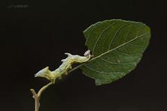 Notodonta ziczac (jojesari) Tags: gusano suso oruga 2216 nikon105vr notodontaziczac jojesari