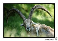 Passy (Naturedicidela) Tags: animal nikon image wildlife savoie animaux chamonix 74 hautesavoie passy chamois 2016 bouquetin 300mmf4 femelle houches afft photographieanimaliere naturedicidela toniometelli