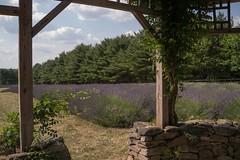 Lavender 2016 (Linda Moll Walker) Tags: lavender carousel pa peacevalley