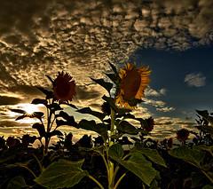 Sun-Flower-Drama (W_von_S) Tags: sunset summer sky panorama sun plant nature field backlight clouds landscape sonnenuntergang outdoor sommer sony flash natur pflanze feld himmel wolken sunny sunflower paysage sonnig landschaft sonne paesaggio sonnenstrahlen fillflash sunray werner gegenlicht sonnenblume blitzlicht aufhellblitz sonnenblumenfeld a700 sonnenstern wvons sunflowerdrama