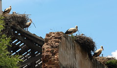IMG_8250 (grahama.green1) Tags: birds storks nests