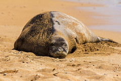 monkseal4Jun17-16 (divindk) Tags: hawaii hawaiianislands kauai neomonachusschauinslandi beach cute endangeredspecies hawaiianmonkseal lazy marine marinemammal monkseal seal sunshine whiskers