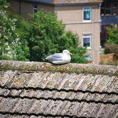 Sea Gull on the Roof (goodbyetrouble) Tags: uk roof sea england meer cornwall britain gull mwe dach kste newlyn