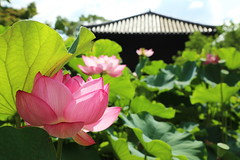 Lotus (Teruhide Tomori) Tags: summer plant flower building green nature japan architecture garden temple kyoto lotus     toji