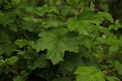Rubus (1) (siddarth.machado) Tags: east lachen northsikkim himalayanflora