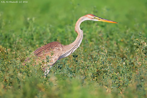 Purple Heron - Juv.
