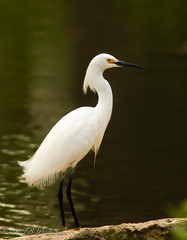 White Egret (Rick Smotherman) Tags: park nature water birds canon garden outdoors morninglight spring fishing pond feeding may overcast 7d runningwater cloudysky canon300mmf4l canon7d canon14teleconverter
