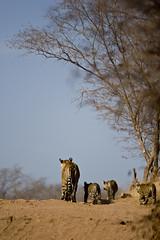 AS_000001647 (dickysingh) Tags: travel family wild india color nature vertical cat babies wildlife tiger young bluesky bigcat cubs predator rajasthan ranthambore noman bengaltiger ranthambhorenationalpark wwwranthambhorecom