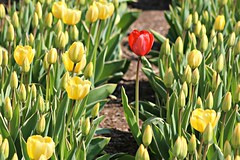 Standing Out in a Crowd (Read2me) Tags: flowers red green yellow boston tulips many odd copleysquare cye 3waychallengewinner flickrchallengewinner tcfe friendlychallenges herowinner superherochallengewinner pregamesweepwinner gamesweepwinner pregameduelwinner
