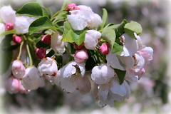 In Bloom (Read2me) Tags: she white flower tree spring dof blossom bokeh cye friendlychallenges thechallengefactory pregamewinner gamesweepwinner
