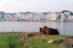 a tough cow-life (wandering_hobbit) Tags: india lake cow peace sleep holy meditation pushkar rajasthan contemplation piratetreasure pardeshi الهند