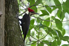 Pileated Woodpecker (Linda Bushman) Tags: florida corkscrew