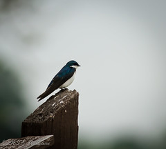 Tree Swallow (Rick Smotherman) Tags: park nature birds canon outdoors morninglight spring hiking may overcast 7d cloudysky buschwildlife canon300mmf4l canon7d