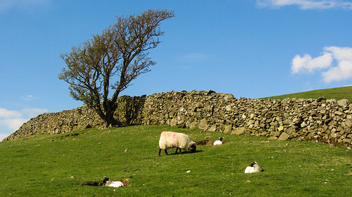 Sheep , tree and a wall