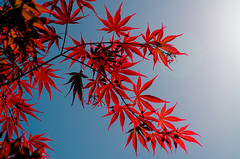 Red maple leaves (David Doua) Tags: blue red sky tree leaves maple nikon d7000