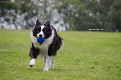 2011_0426_+15 (inmonkey62) Tags: dog flying coin collie pentax border dal bordercollie disc   kx 50300