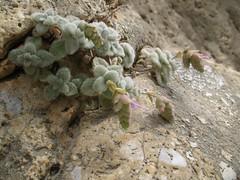 Origanum dictamnus, Anidri Gorge walls, 10th September 2009 (jrcollman) Tags: plants places crete gorge archived anidri importedtags oplant europeincldgcanaries cardqualfromverbatum origanumdictamnusdittanyofcretecretandittanyorhopmajoram