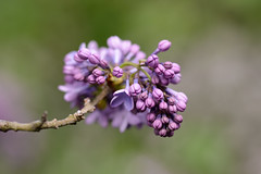 Budding Lilac Branch (Eric Kilby) Tags: flowers boston branch cluster arnold arboretum lilacs budding