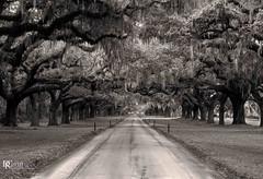 Avenue of Oaks (Dennis Cluth) Tags: trees art monochrome hall moss nikon live south spanish carolina oaks boone d800