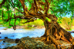 The-Tree-at-the-River-in-Cambodia
