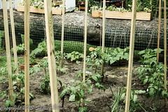 Shelley Bain-459.jpg (Shelley Bain) Tags: flowers flower garden tomato pepper herbs cucumber vegetable heirloomtomato shelleybain gardeningtrellis