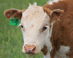 Those Eyelashes (gebodogs) Tags: ranch family cow eyes eyelashes cattle bull pasture wyoming calf herefords redhills