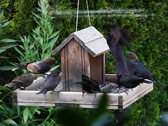 Jun12,2013f 128 Brown-headed Cowbirds (terrygray) Tags: brownheadedcowbird