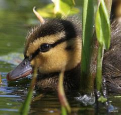 Duckling in hiding (or trying) (Peter J. Ham) Tags: life cute beautiful birds babies sweet young ducklings mallard ness britishbirds peterham davidandness