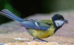 Close Up Great Tit (ColmRW) Tags: nature wow nikon tit photos wildlife great picture 70300mm amateur loud noisy knypersley d3100