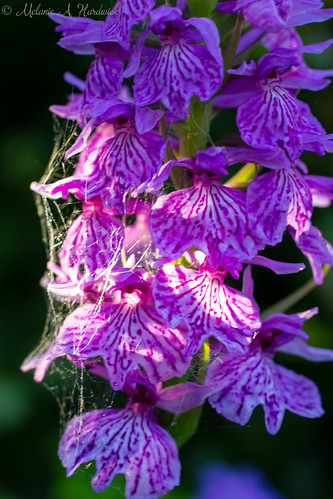 Orchid with Cobweb