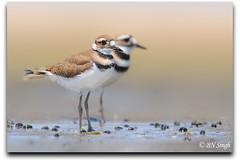 Killdeer (BN Singh) Tags: new wild two usa baby bird beach nature highlands adult killdeer background pair sandy nj chick jersey hook juvenile plover nra vociferus charadrius