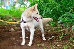 Japan Dog (hybrid) Yuki spoiled child! / ! (Dakiny) Tags: summer dog field animal animals japan mammal country july yuki yokohama   hybrid    vegetablegarden     2013    petanimal aobaku  japandog     2013  shimoyamotocho  yamotoseseragifureaipromenade jaspnesedog