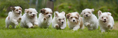 7 running Havanese puppys in a row! (Hans Surfer (where the action is)) Tags: havanese 85weeks canon1dmarkiii canon70200lf4is alittlebeauty mygearandme mygearandmepremium mygearandmebronze mygearandmesilver mygearandmegold mygearandmeplatinum mygearandmediamond nanaturezainnature vigilantphotographersunite vpu2 vpu3 vpu4 vpu5 vpu6 vpu7 vpu9 vpu10 runninginarow 7puppysinarow fromonebreed