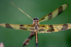 Dragonfly-0527