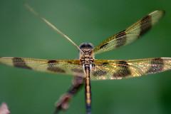 Dragonfly-0527