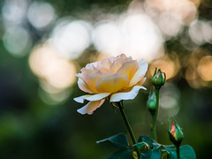 Dreamy Rose Part Deux (J.Bower) Tags: flower rose oregon pen golden bokeh 5 july olympus pacificnorthwest pdx dreamy goldenhour oof wideopen 75mm rosecity partdeux 2013 ep5 oofhighlights olympus75mmf18
