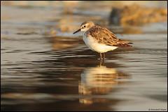 Little Stint (....Nishant Shah....) Tags: india bird nature nikon wildlife stint hyderabad calidrisminuta 300mmf28 shorebird andhrapradesh wader littlestint tc17 nikond90