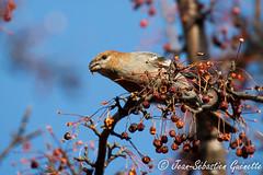GUEJ_2012-11-21_13-04-57.jpg (jsguenette) Tags: canada bird animal montréal aves québec oiseau pinegrosbeak durbecdessapins fringilidae