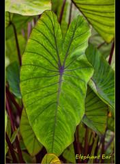 Elephant Ears (I) (gtncats) Tags: plants nature elephantears potofgold photographyforrecreation