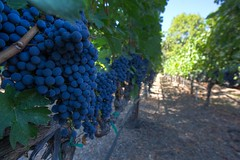 Wine before Wine (Mike Schofield) Tags: vines wine napavalley grape hdr menageatrois