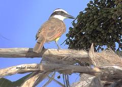 BENTIVI VALENTE (AmávelSobrinha) Tags: pássaro valente bentivi