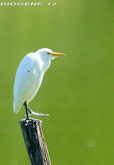 AIRONE GUARDABUOI ( cattle egret )  Oasi WWF di Marmirolo Reggio Emilia ( Oasis WWF di Marmirolo Reggio Emilia ) http://www.wwf.it/client/render_oasi.aspx?content=0&root=3389 (DIOGENE12) Tags: park parco nature birds animals natura uccelli oasis animali oasi airone guardabuoi