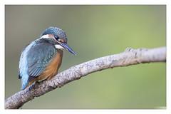 Martin pêcheur Femelle (Alcedo atthis) Kingfisher (Denis.R) Tags: france canon 300mm kingfisher lorraine moselle alcedoatthis femelle martinpêcheur denisr 5dmarkiii denisrebadj