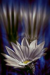 Flower in blue and white (radonracer) Tags: blue flower surreal blumen digiart