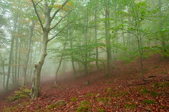 beech forest in the mist (Serena Marzo) Tags: wood autumn trees mist fall leaves fog forest beech beeches flickrandroidapp:filter=none