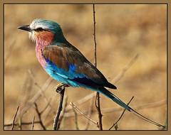 Lilac-breasted Roller (Rainbirder) Tags: kenya maasaimara lilacbreastedroller coraciascaudatus rainbirder
