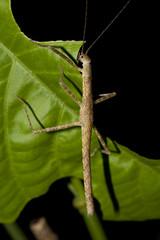 _DSC6920 (MichaSauer) Tags: insect sarawak borneo stick np ai batang bako phasmid kasai mulu lambir nanga sumpa lubok